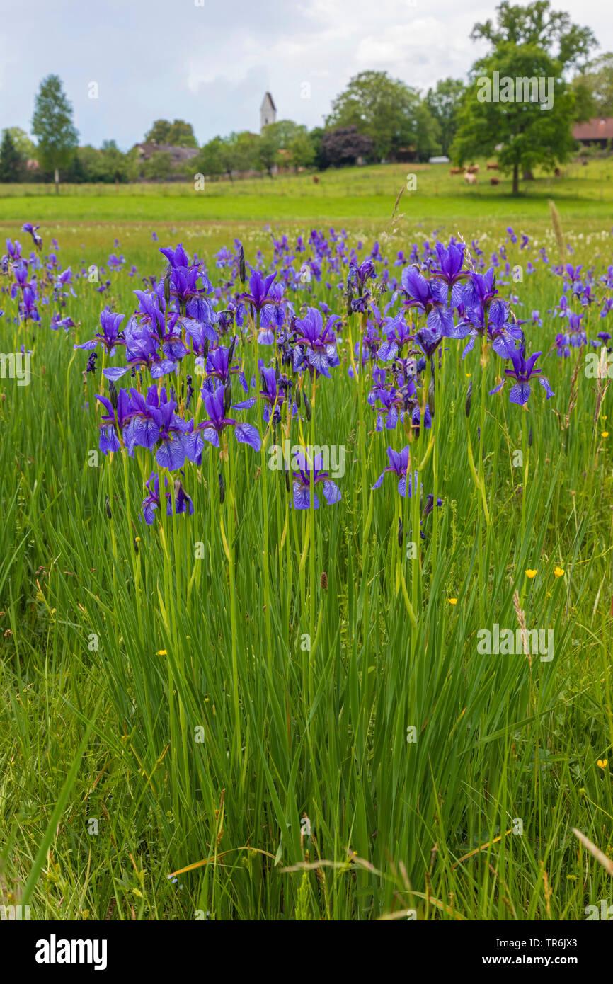 Sibirische Schwertlilie, Wiesen-Schwertlilie, Wiesenschwertlilie, Wiesen-Iris, Wieseniris (Iris sibirica), dichter bluehender Bestand mit kleinem Dorf - Stock Image