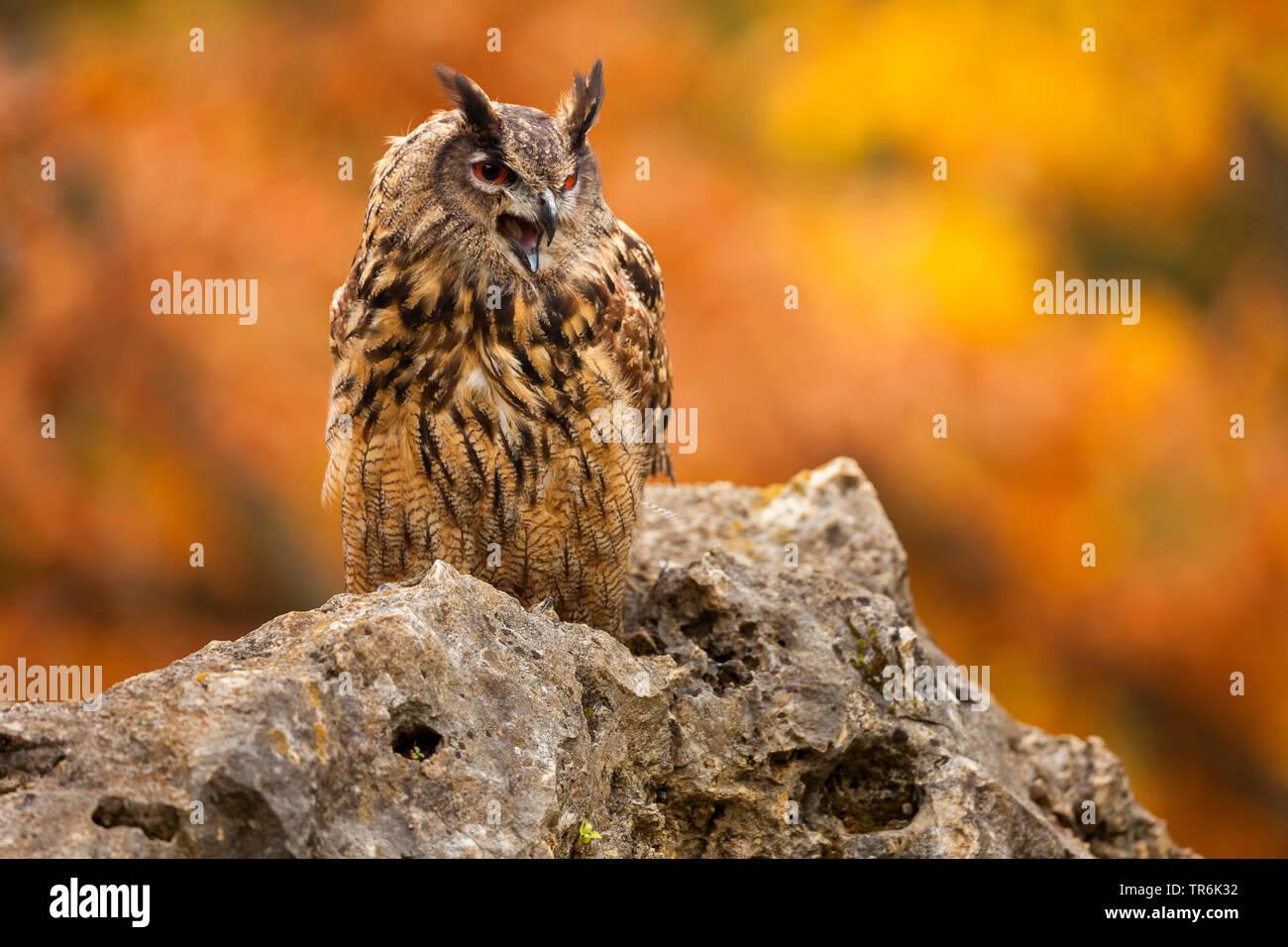 northern eagle owl (Bubo bubo), sitting on a rock yawning, Germany - Stock Image