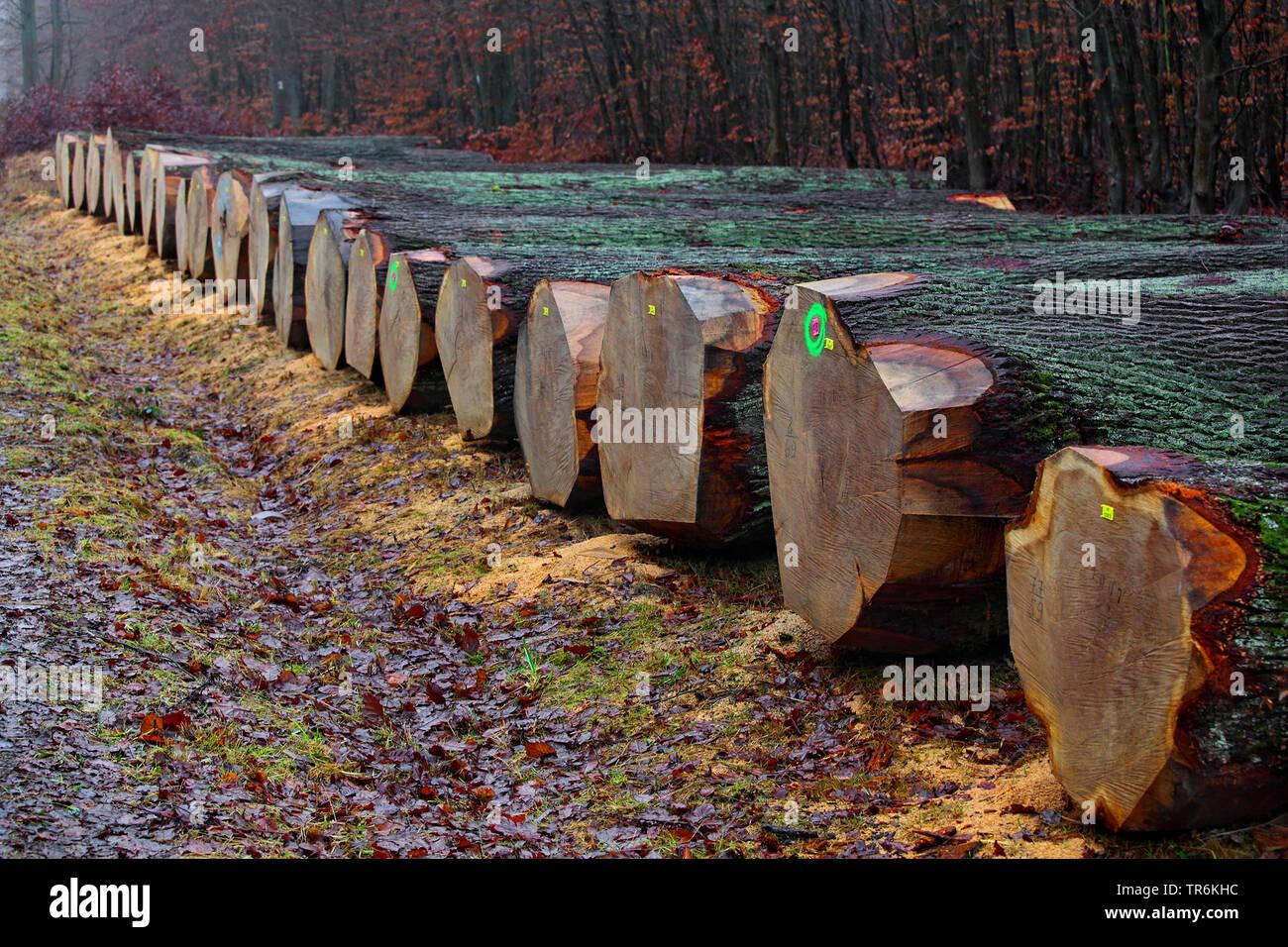 Eiche (Quercus spec.), wertvolle Eichenstaemme, Furniereichen liegen am Waldrand zur Versteigerung bereit, Deutschland, Hessen, Krofdorfer Forst   oak - Stock Image