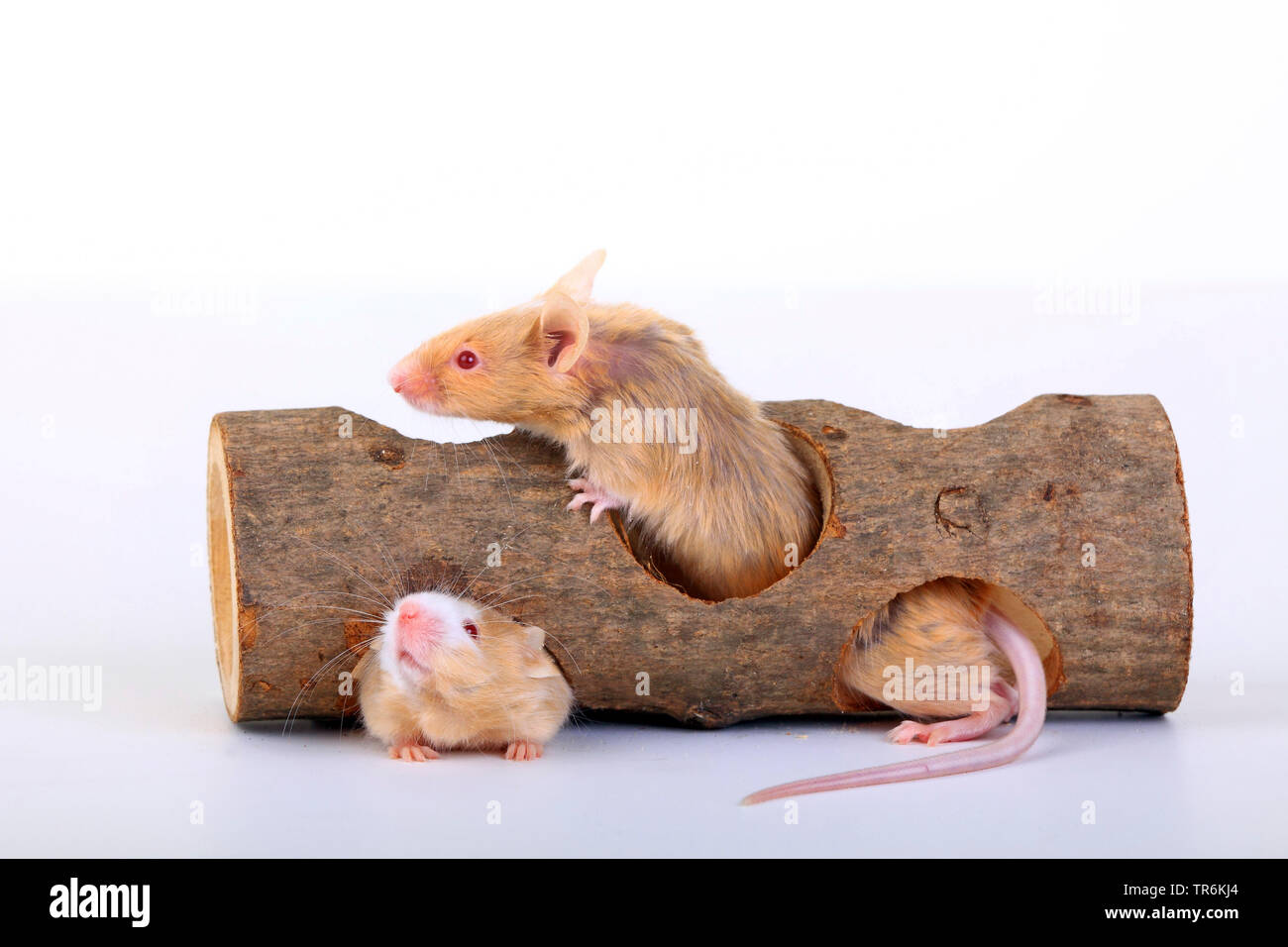 fancy mouse (Mus musculus), fany mice in a woode tube, Germany Stock Photo