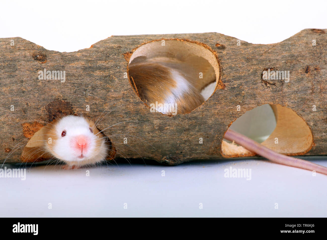 fancy mouse (Mus musculus), in a woode tube, Germany Stock Photo