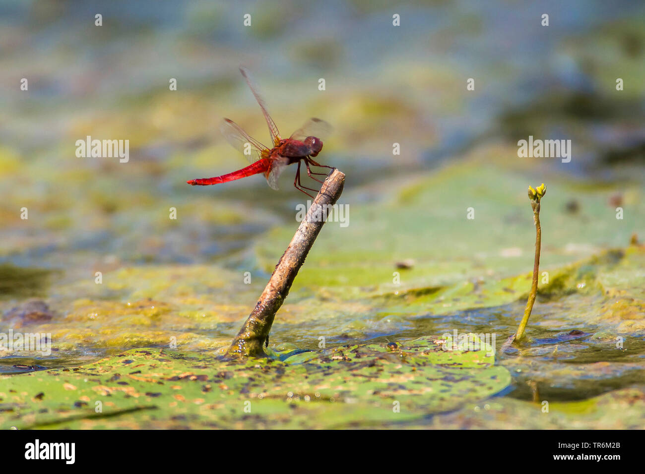 Broad Scarlet, Common Scarlet-darter, Scarlet Darter, Scarlet Dragonfly (Crocothemis erythraea, Croccothemis erythraea), male landing on a lookout in the water, Germany, Bavaria, Niederbayern, Lower Bavaria Stock Photo