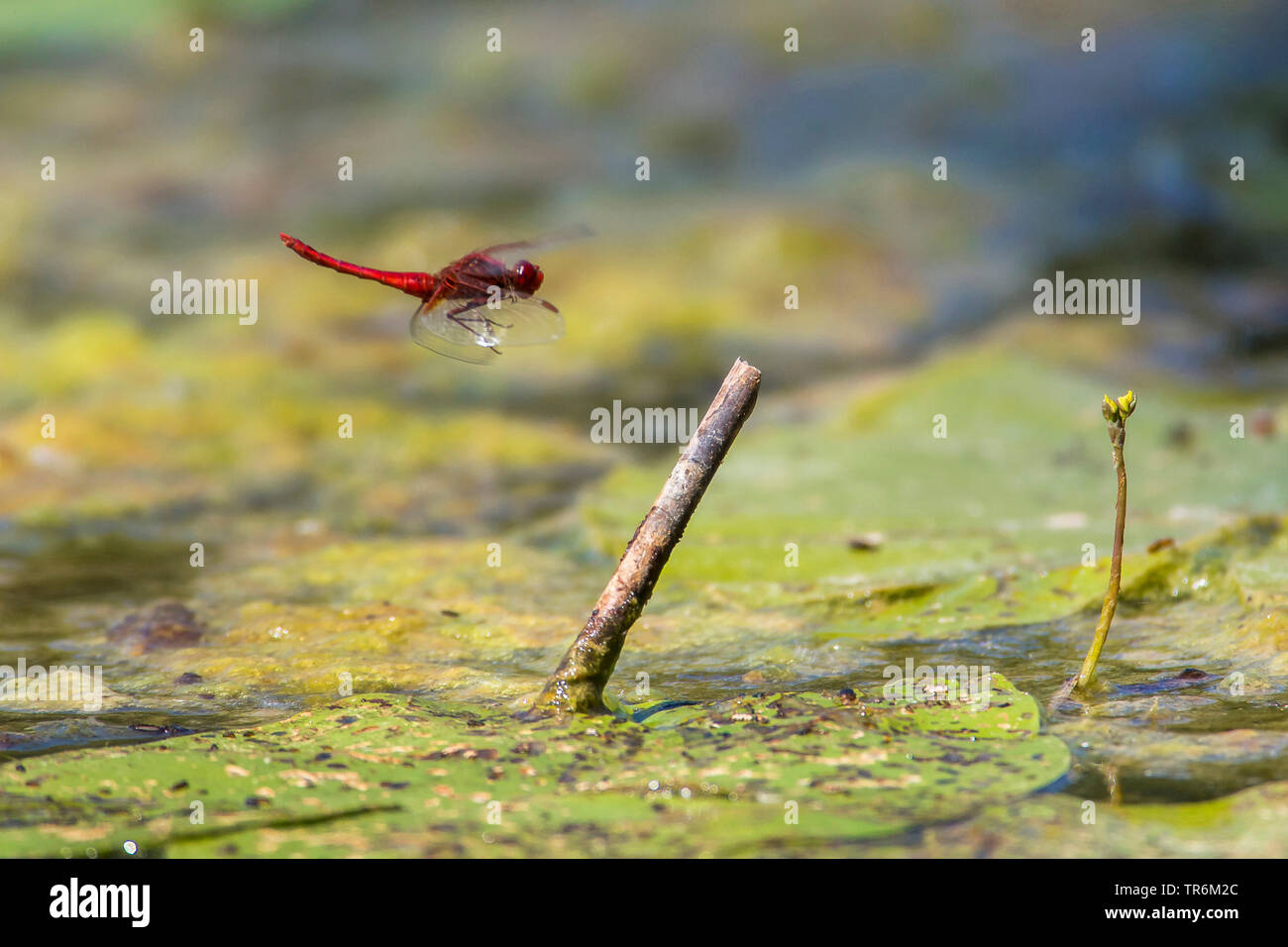 Broad Scarlet, Common Scarlet-darter, Scarlet Darter, Scarlet Dragonfly (Crocothemis erythraea, Croccothemis erythraea), male in approach on a lookout in the water, Germany, Bavaria, Niederbayern, Lower Bavaria Stock Photo