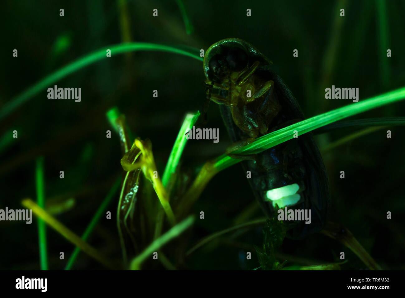 small lightning beetle (Lamprohiza splendidula, Phausis splendidula), sitting at a spear and lighting in the night, Germany, Bavaria, Niederbayern, Lower Bavaria Stock Photo