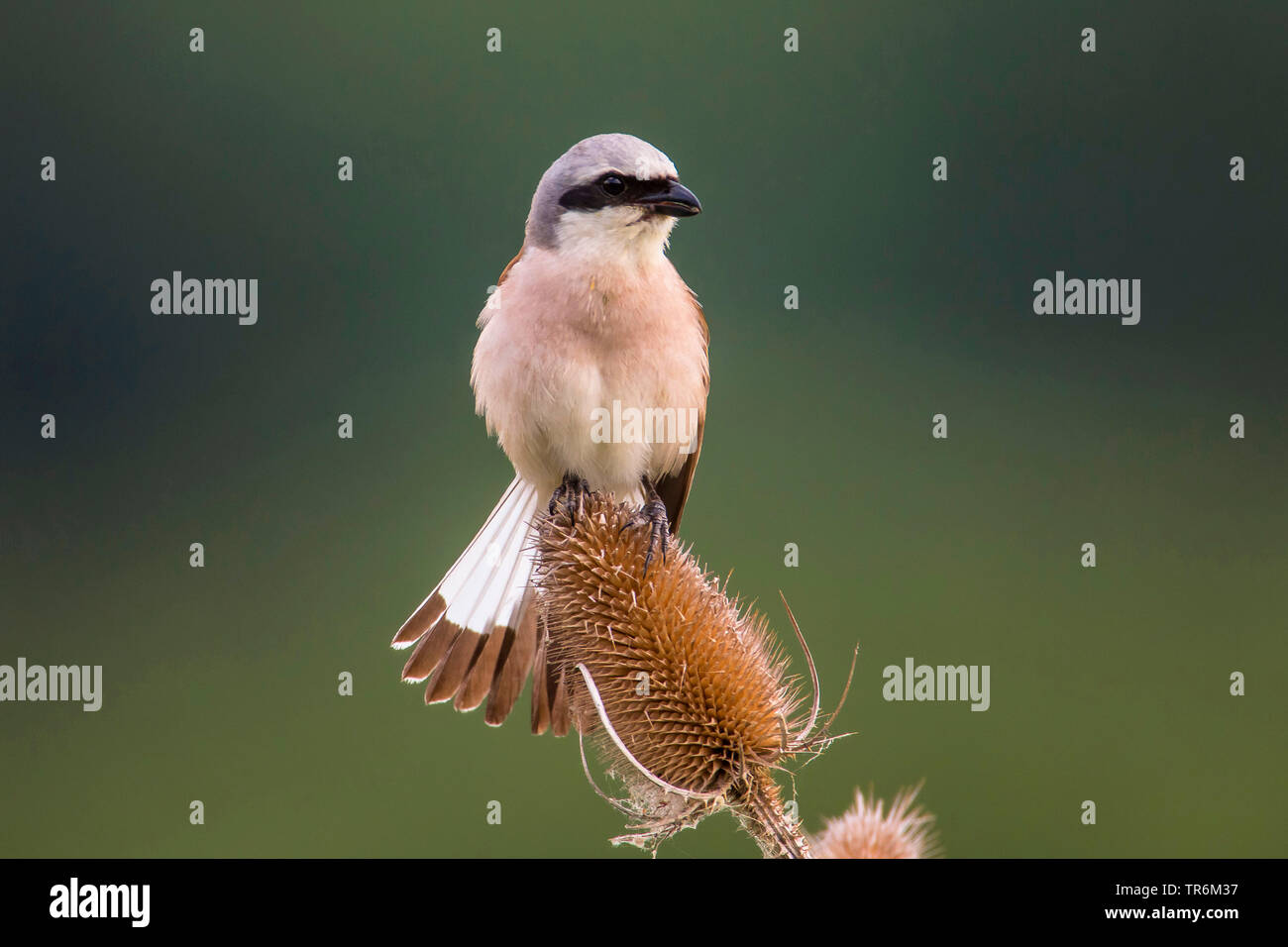 red-backed shrike (Lanius collurio), male on a teasel fanning the tail, Germany, Bavaria, Niederbayern, Lower Bavaria - Stock Image