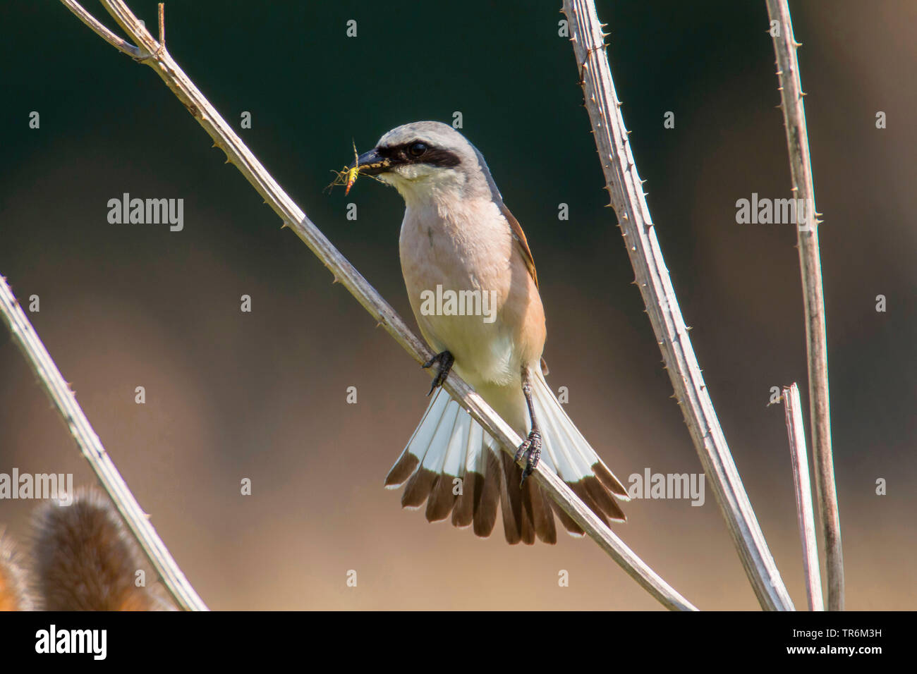 red-backed shrike (Lanius collurio), male with caught scorpionfly in the beack, fanning the tail, Germany, Bavaria, Niederbayern, Lower Bavaria - Stock Image
