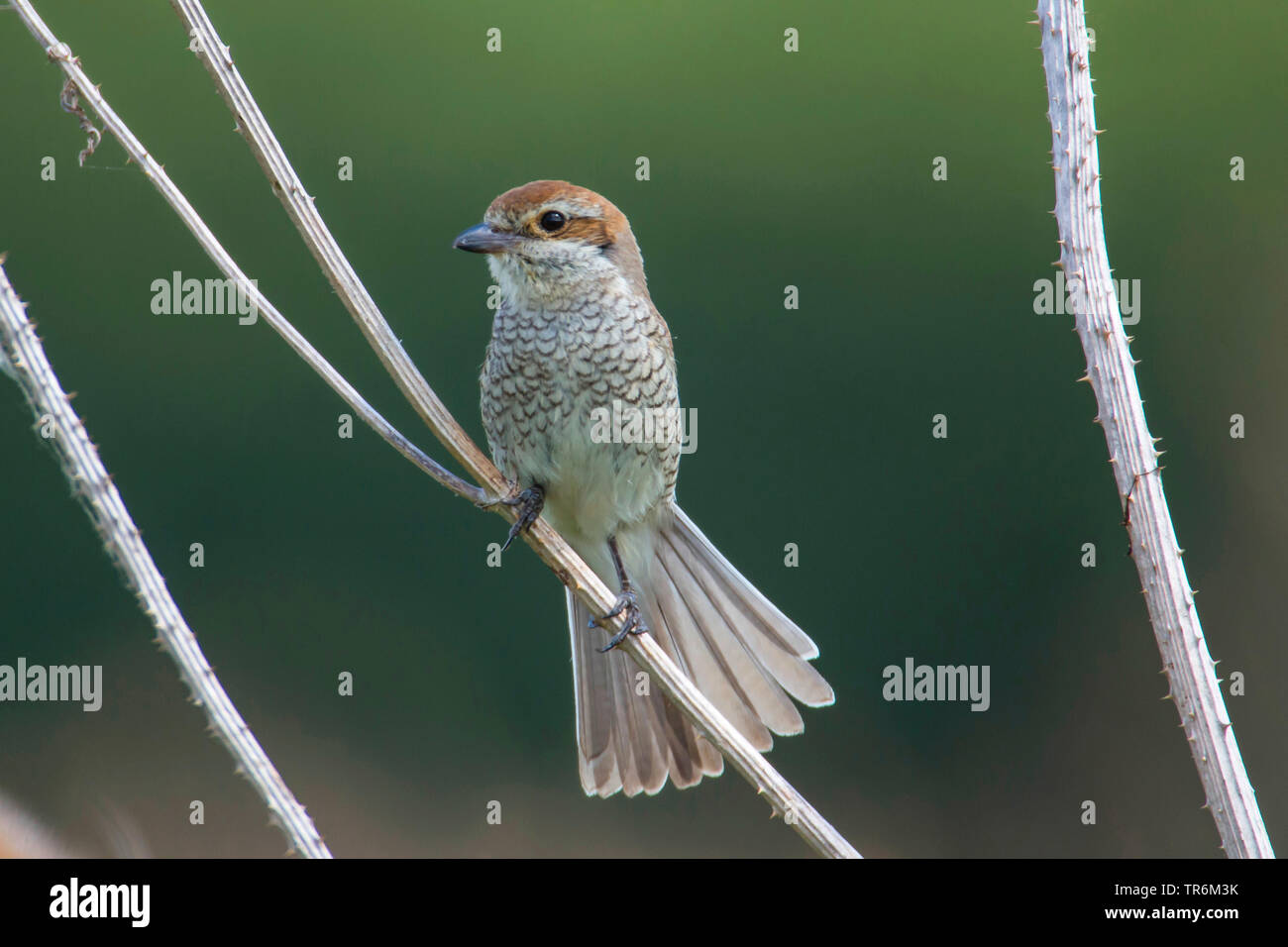 red-backed shrike (Lanius collurio), female on a sprout, fanning the tail, Germany, Bavaria, Niederbayern, Lower Bavaria - Stock Image
