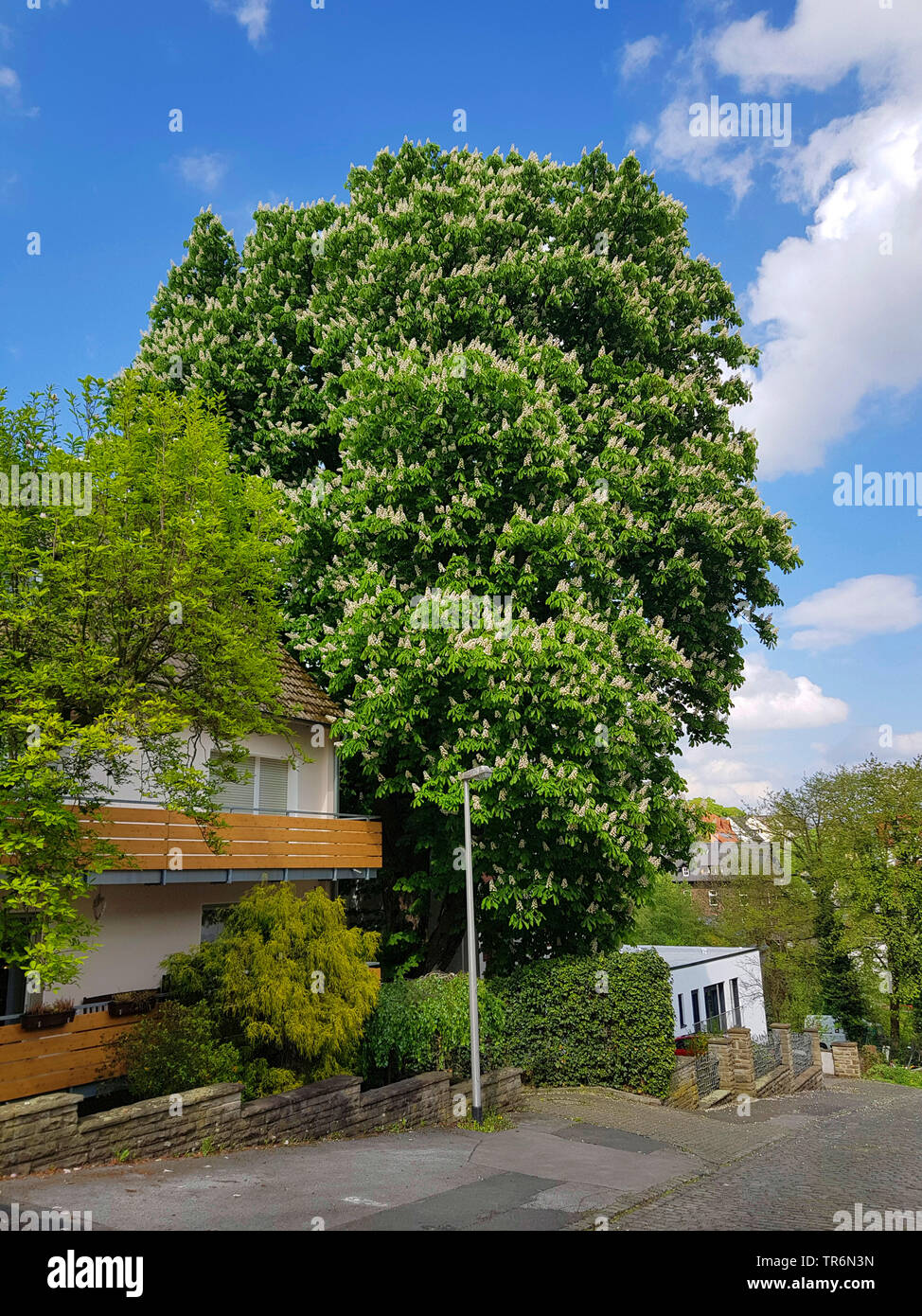 common horse chestnut (Aesculus hippocastanum), blooming tree in a frontgarden, Germany Stock Photo