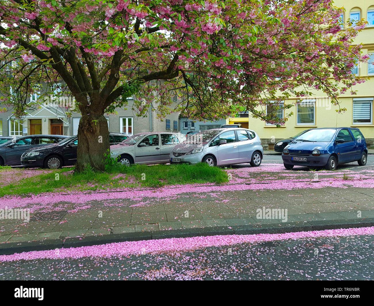 oriental cherry (Prunus serrulata), fallen pink petals covering the street and the cars, Germany, North Rhine-Westphalia - Stock Image