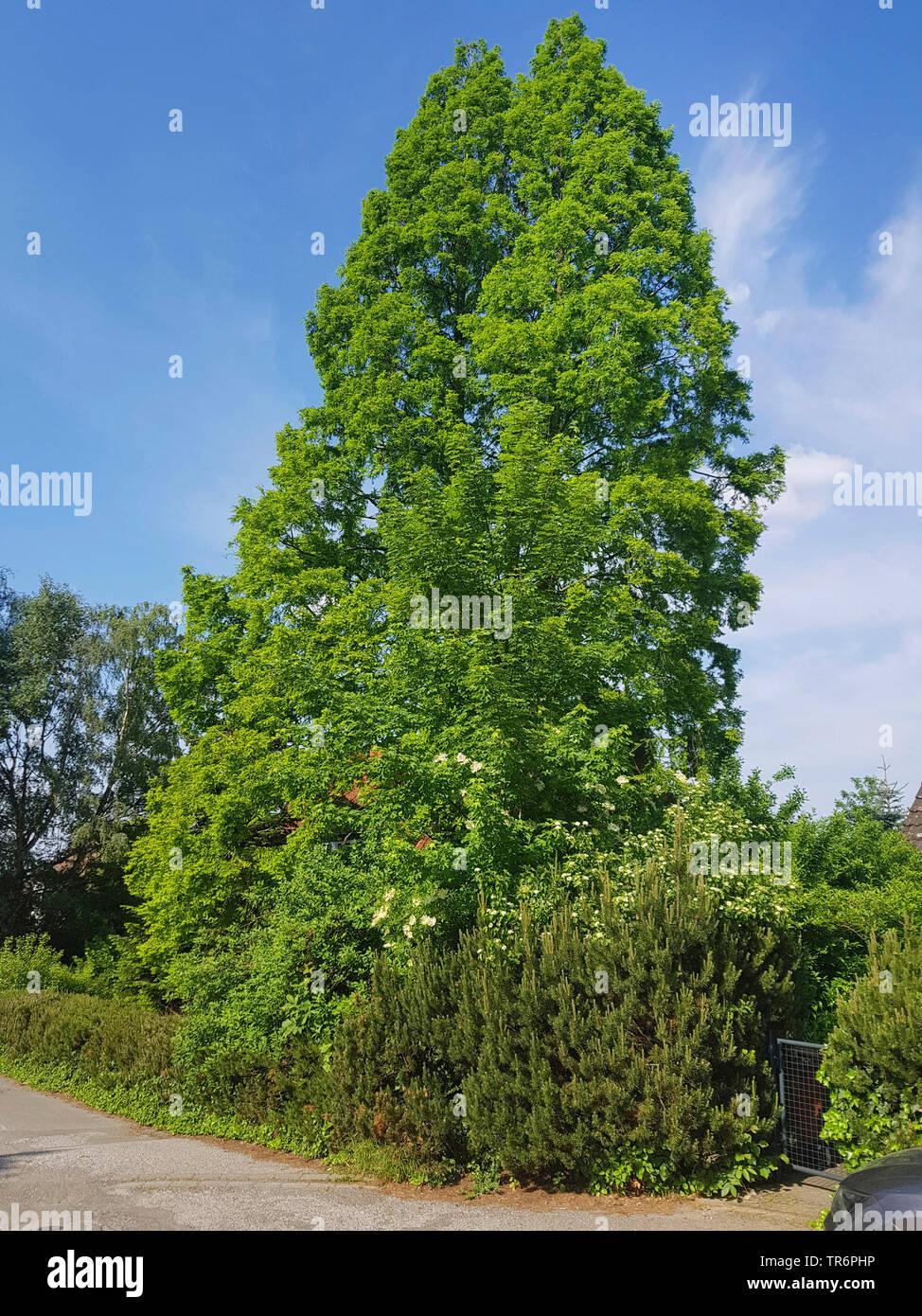 Urwelt-Mammutbaum, Urweltmammutbaum, Mammutbaum, Chinesisches Rotholz, Metasequoie (Metasequoia glyptostroboides), in einem Vorgarten, Deutschland | d - Stock Image