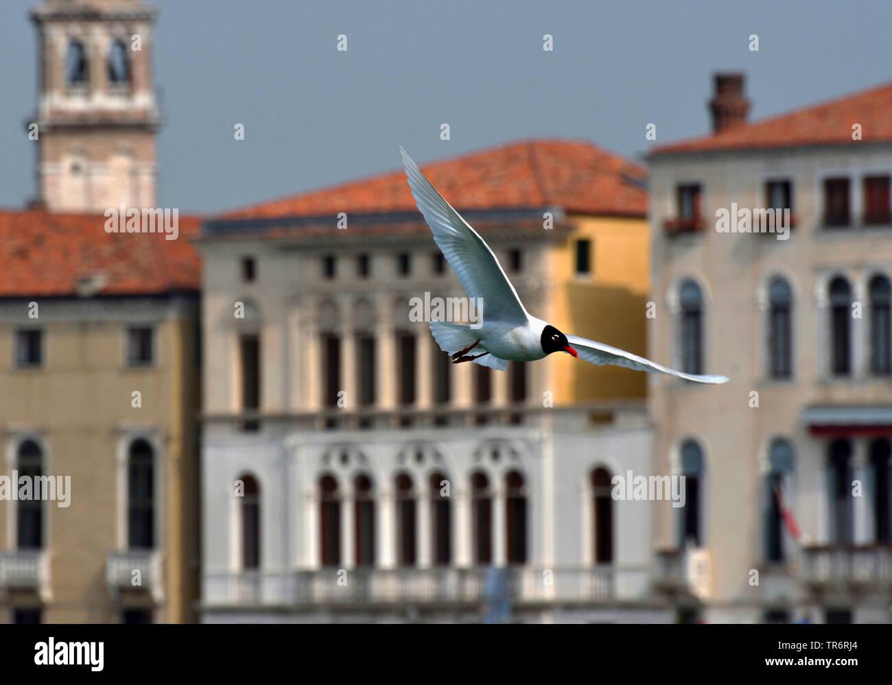 Schwarzkopfmoewe, Schwarzkopf-Moewe (Larus melanocephalus, Ichthyaetus melanocephalus), fliegend in Venedig, Italien, Venedig | mediterranean gull (La - Stock Image