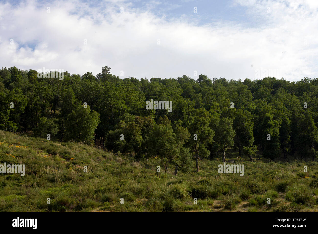 Naaldbos, Pine Forest, Algerien, Petite Kabylie   Naaldbos, Pine Forest, Algeria, Petite Kabylie   BLWS490387.jpg [ (c) blickwinkel/AGAMI/D. Monticell - Stock Image