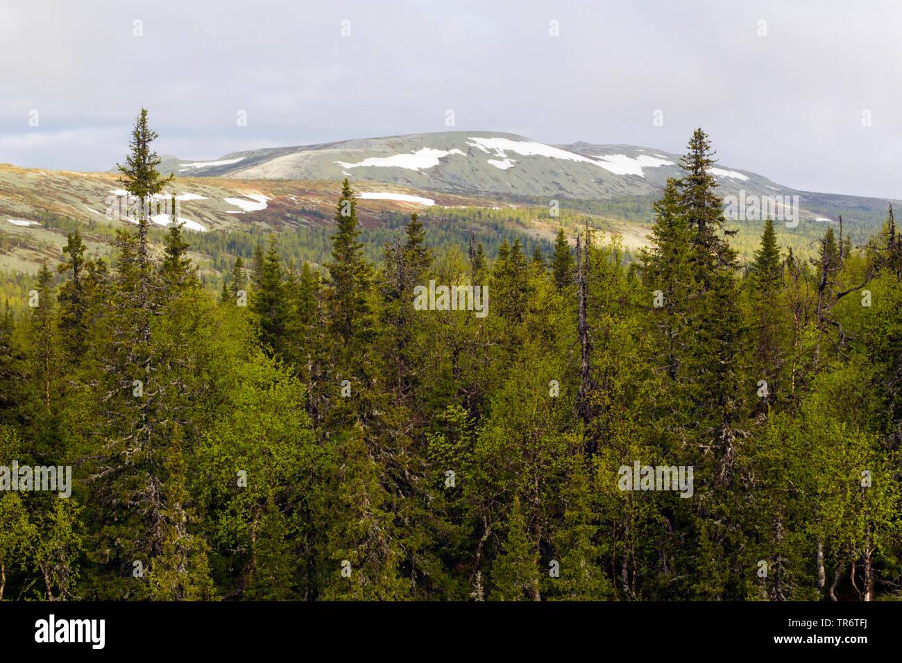 Gemeine Fichte, Gewoehnliche Fichte (Picea abies), Fichtenwald bei Pine Severo-oeralsk, Russland   Norway spruce (Picea abies), Pine Forest near Sever - Stock Image