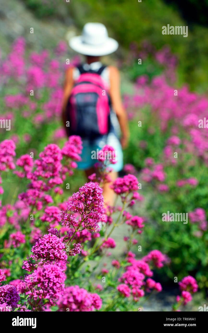 Rote Spornblume (Centranthus ruber), Wanderin zwischen rosa Blueten am Cap Sicie, Frankreich, Toulon | Red valerian, Valerian, Jupiter's beard, Spur v - Stock Image