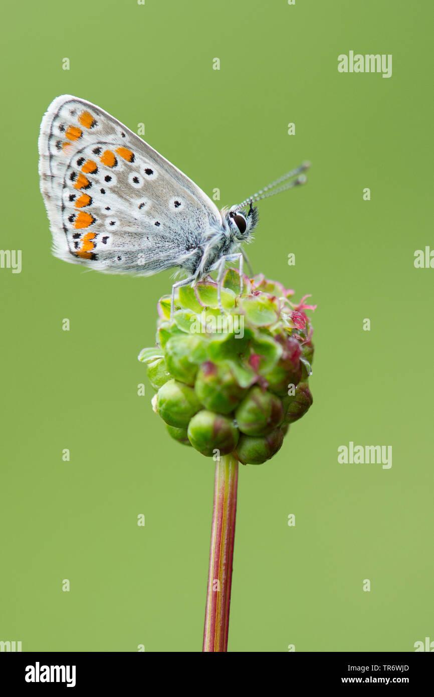 Kleiner Sonnenroeschen-Blaeuling, Dunkelbrauner Blaeuling, Sonnenroeschenblaeuling (Aricia agestis), auf Kleinem Wiesenknopf, Sanguisorba minor, Deuts - Stock Image