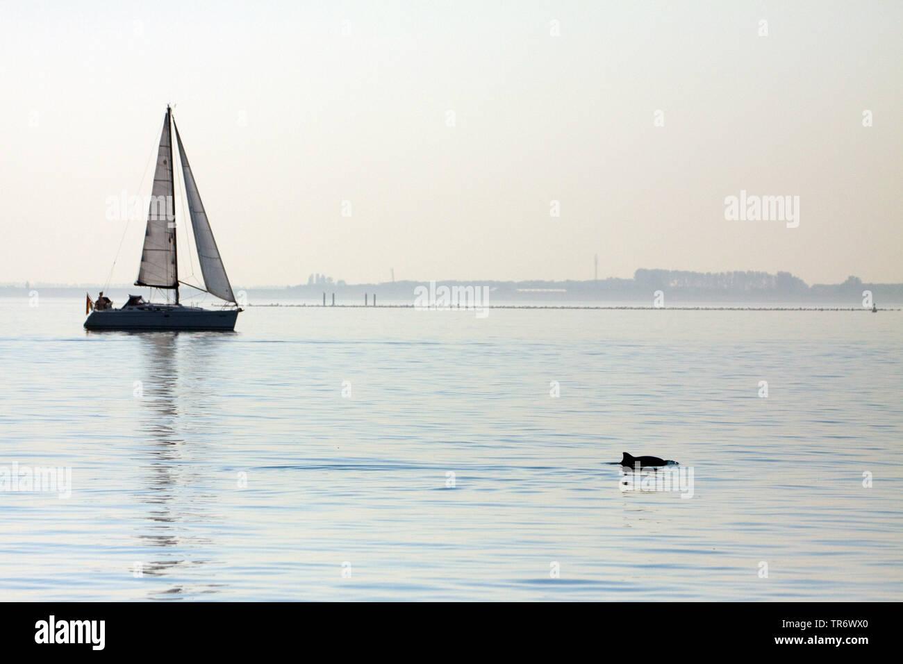 Gewoehnlicher Schweinswal, Braunfisch, Kleiner Tuemmler, Kleintuemmler (Phocoena phocoena), vor einem Segelboot, Niederlande, Oosterschelde Nationalpa - Stock Image