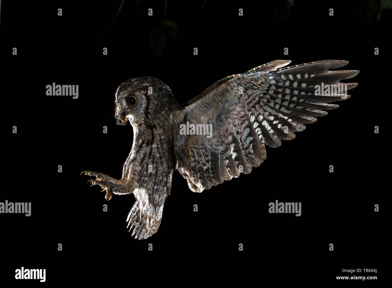 Zwergohreule, Zwergohr-Eule (Otus scops), im Landeanflug, Spanien, Guadarrama Nationalpark | Eurasian scops owl (Otus scops), on approach, Spain, Guad - Stock Image