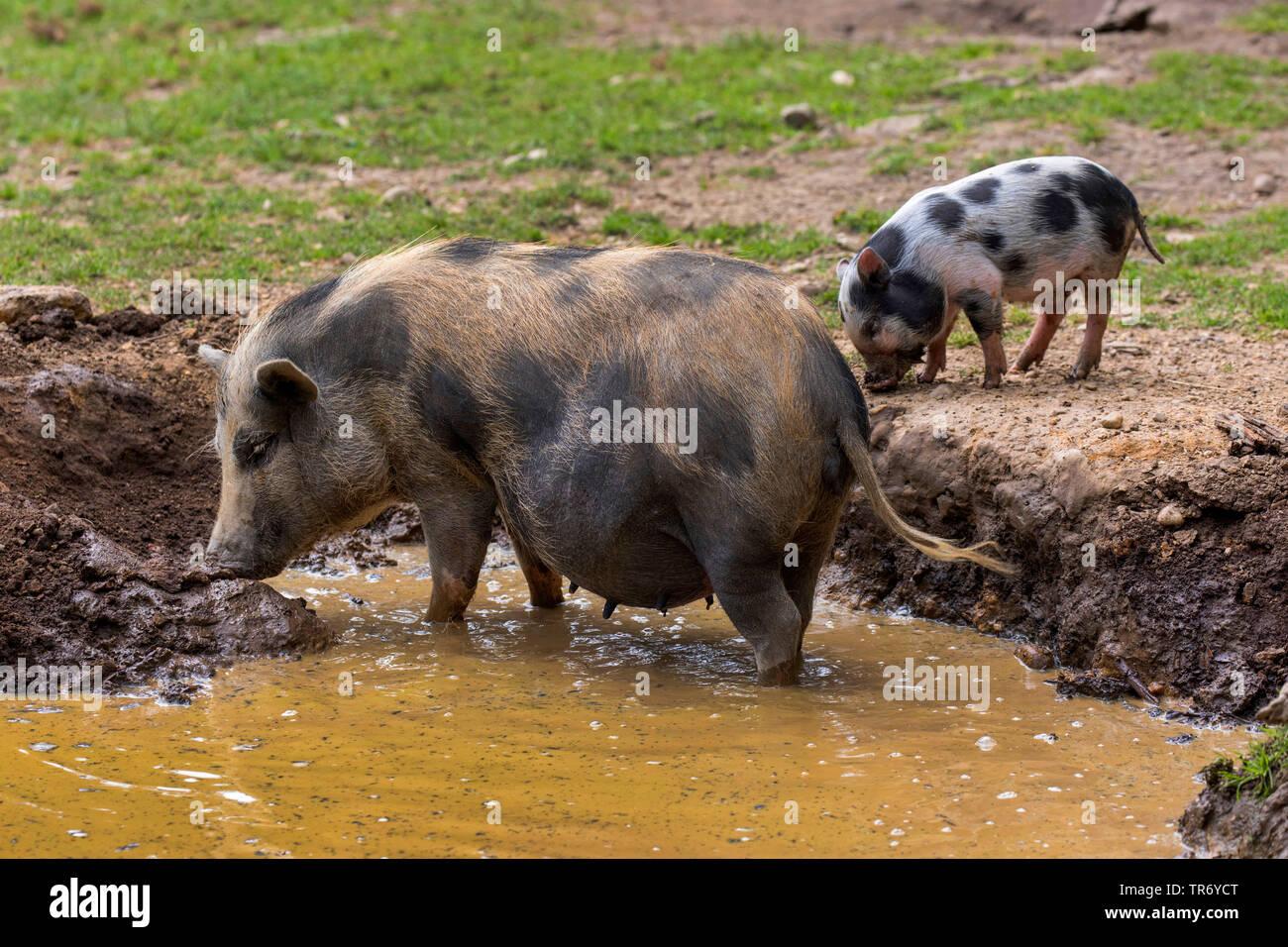 Vietnamesisches Haengebauchschwein, Ostasiatisches Haengebauchschwein (Sus scrofa f. domestica), Sau mit Ferkel in der Suhle    Vietnamese pot-bellied - Stock Image