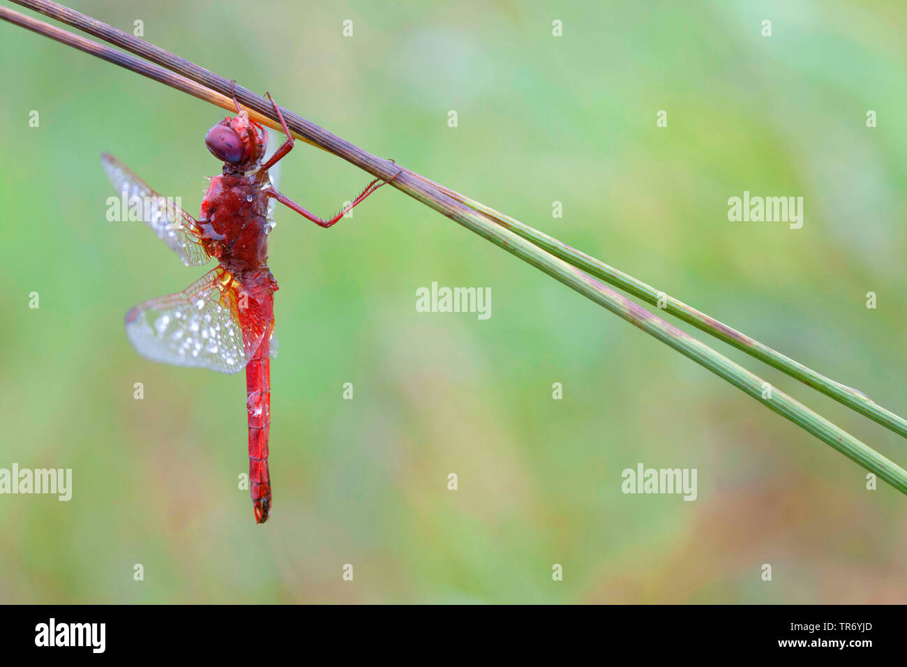 Broad Scarlet, Common Scarlet-darter, Scarlet Darter, Scarlet Dragonfly (Crocothemis erythraea, Croccothemis erythraea), male with dewdrops at a stem, Germany, Bavaria Stock Photo