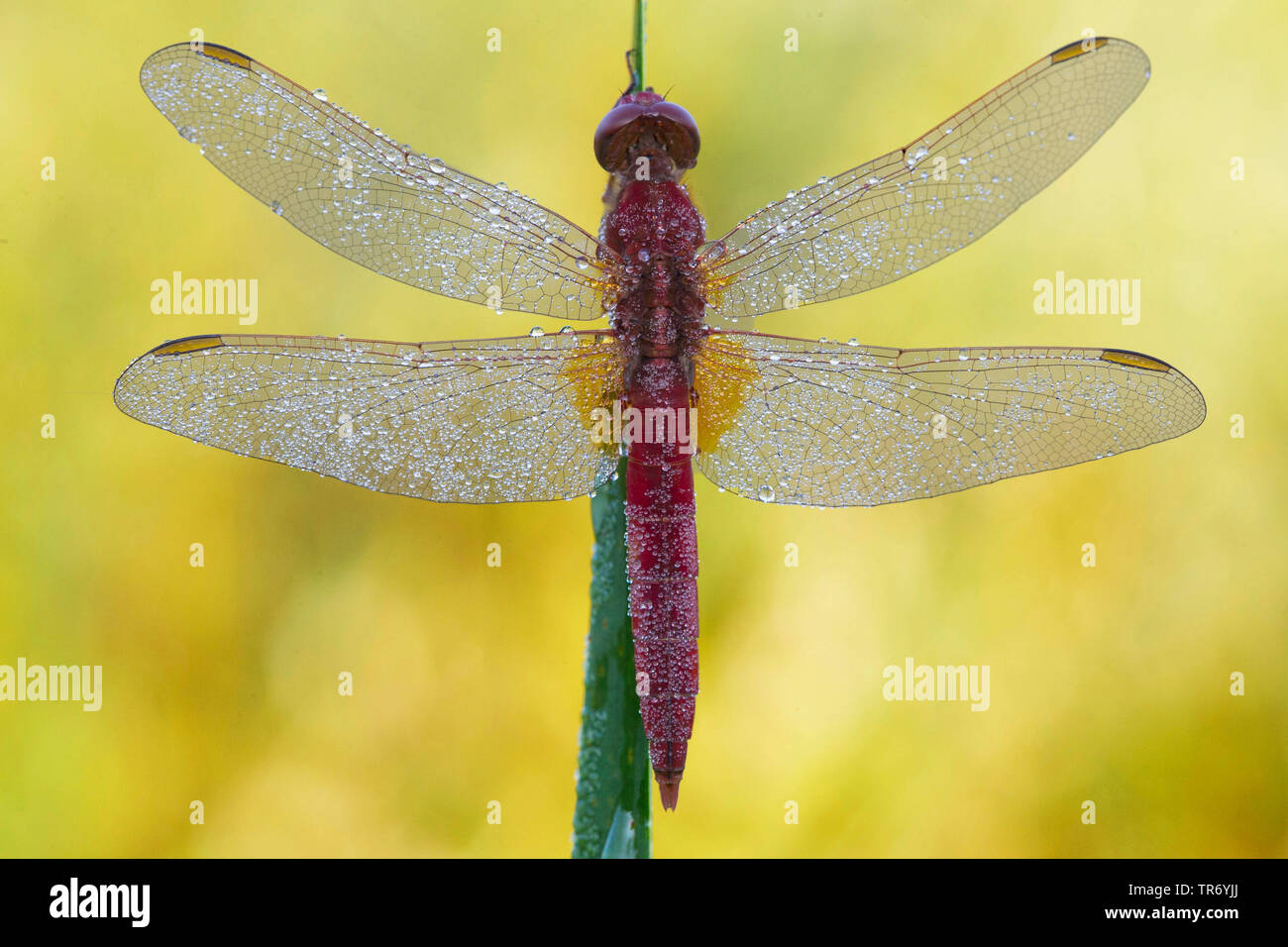 Broad Scarlet, Common Scarlet-darter, Scarlet Darter, Scarlet Dragonfly (Crocothemis erythraea, Croccothemis erythraea), male with dewdrops at a spear, Germany, Bavaria Stock Photo