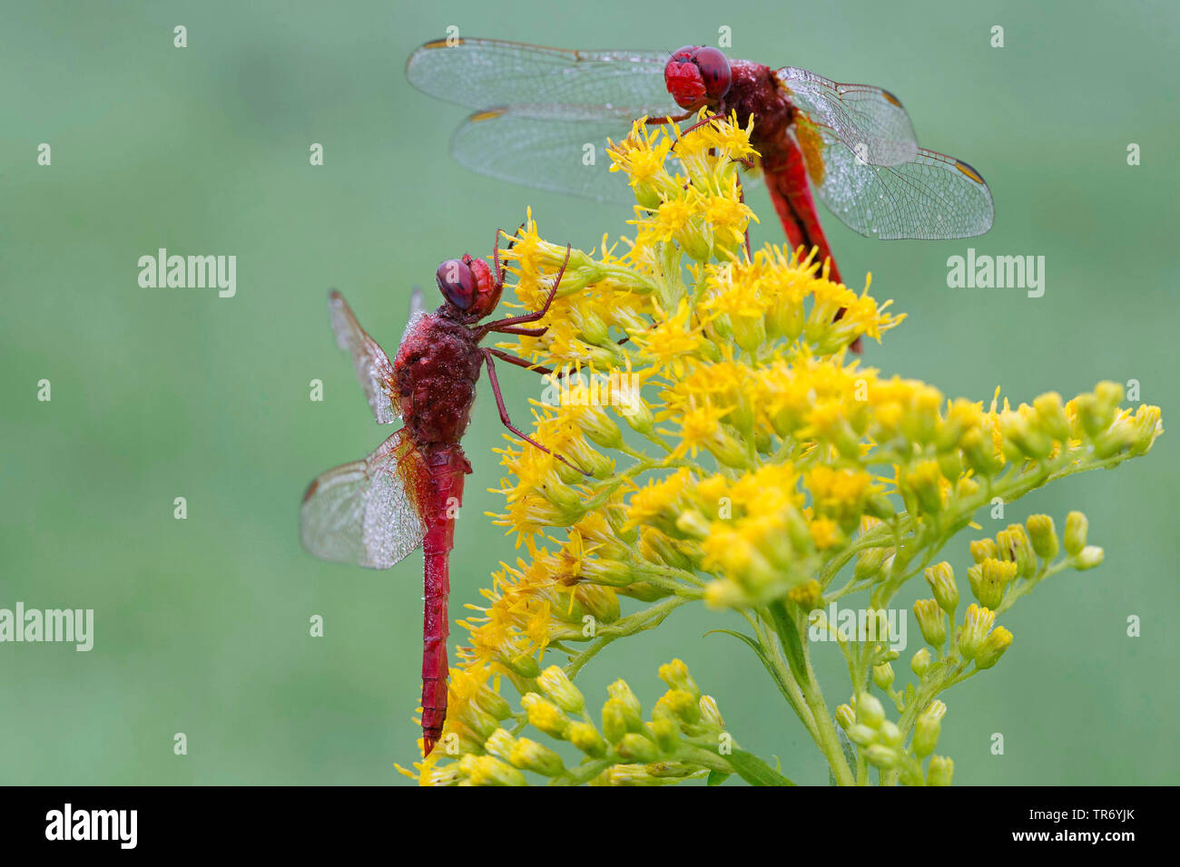 Broad Scarlet, Common Scarlet-darter, Scarlet Darter, Scarlet Dragonfly (Crocothemis erythraea, Croccothemis erythraea), two males at a goldenrod, Germany, Bavaria Stock Photo