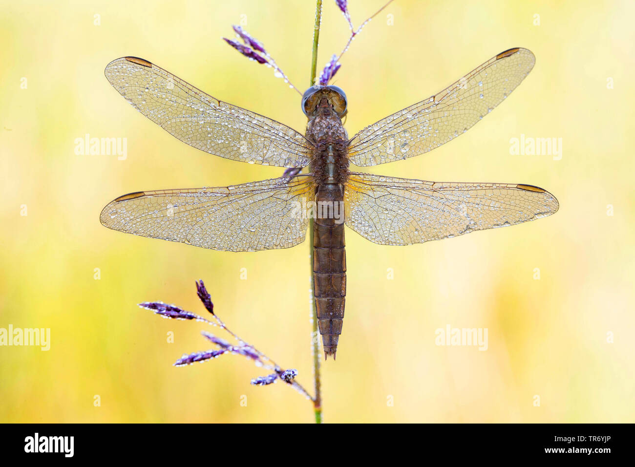 Broad Scarlet, Common Scarlet-darter, Scarlet Darter, Scarlet Dragonfly (Crocothemis erythraea, Croccothemis erythraea), female with dewdrops at a stem, Germany, Bavaria Stock Photo