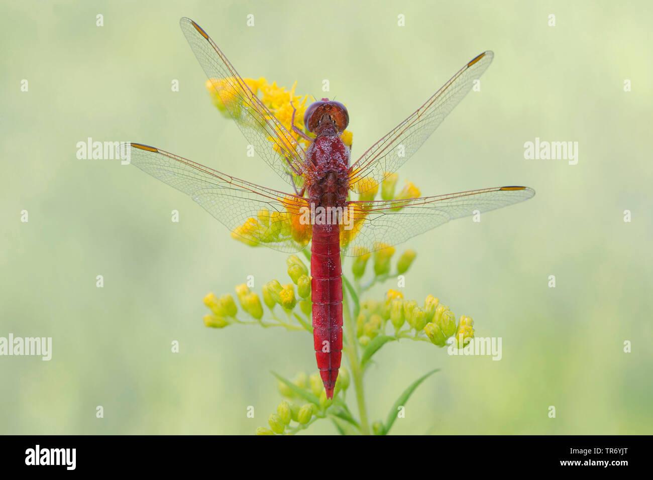 Broad Scarlet, Common Scarlet-darter, Scarlet Darter, Scarlet Dragonfly (Crocothemis erythraea, Croccothemis erythraea), male at a goldenrod, Germany, Bavaria Stock Photo