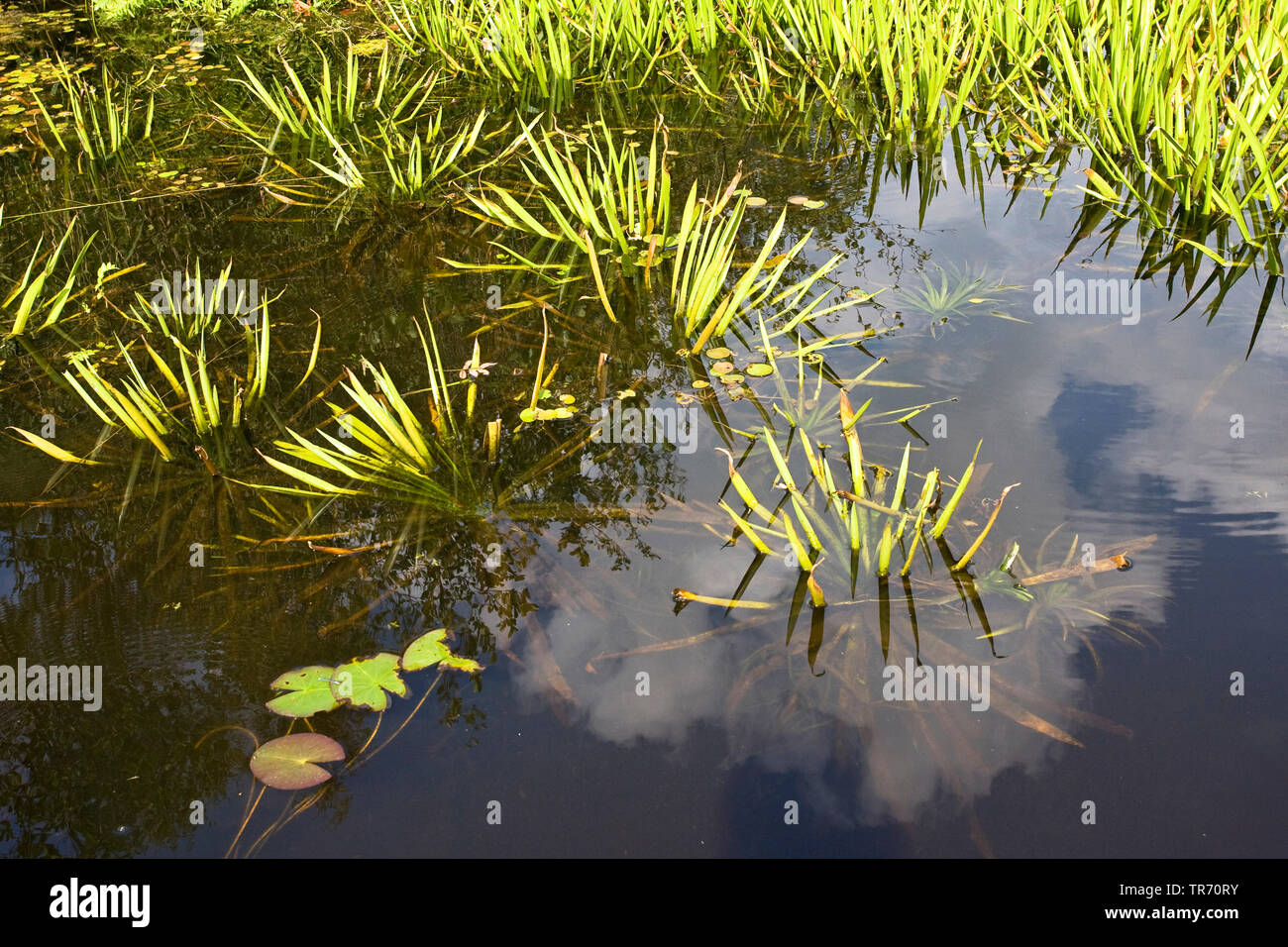 crab's-claw, water-soldier (Stratiotes aloides), Netherlands Stock Photo