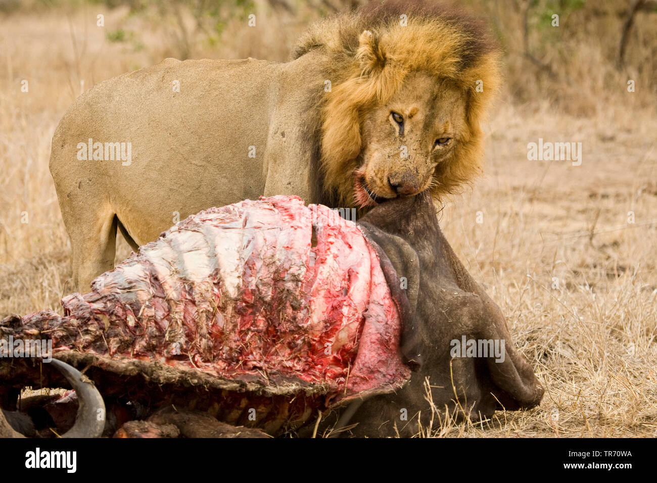 lion (Panthera leo), eating a cadaver, South Africa, Krueger National Park - Stock Image