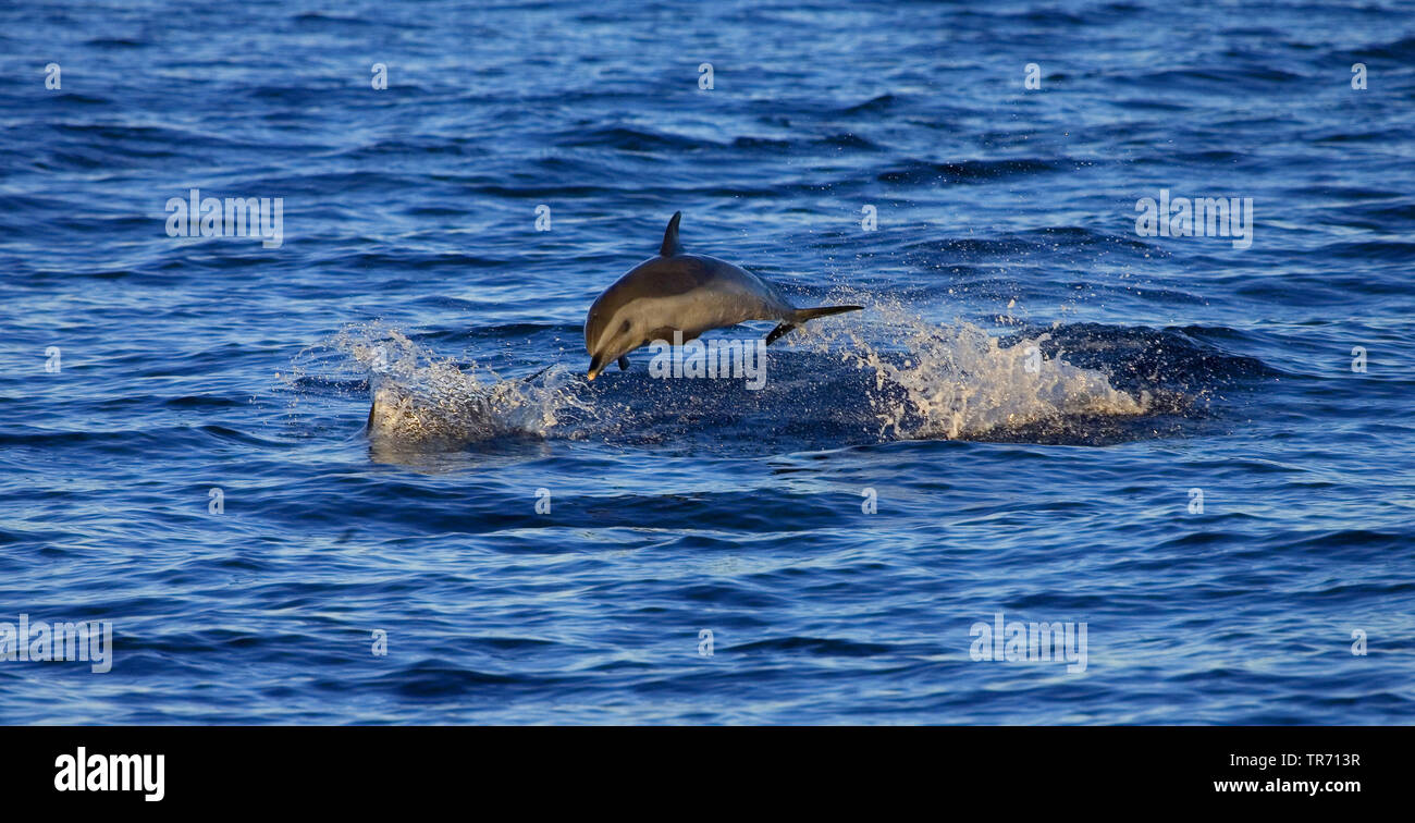 Schlankdelphin, Fleckendelphin (Stenella attenuata), im Sprung, St. Helena | bridled dolphin, pantropical spotted dolphin, white-spotted dolphin (Sten - Stock Image