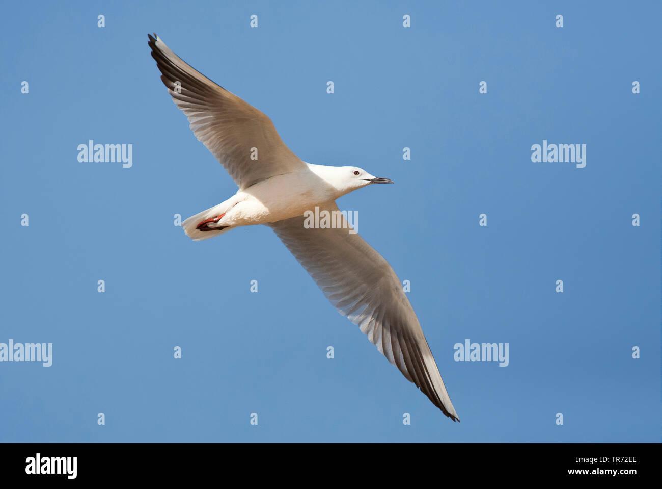 slender-billed gull (Larus genei, Chroicocephalus genei), flying, Israel Stock Photo
