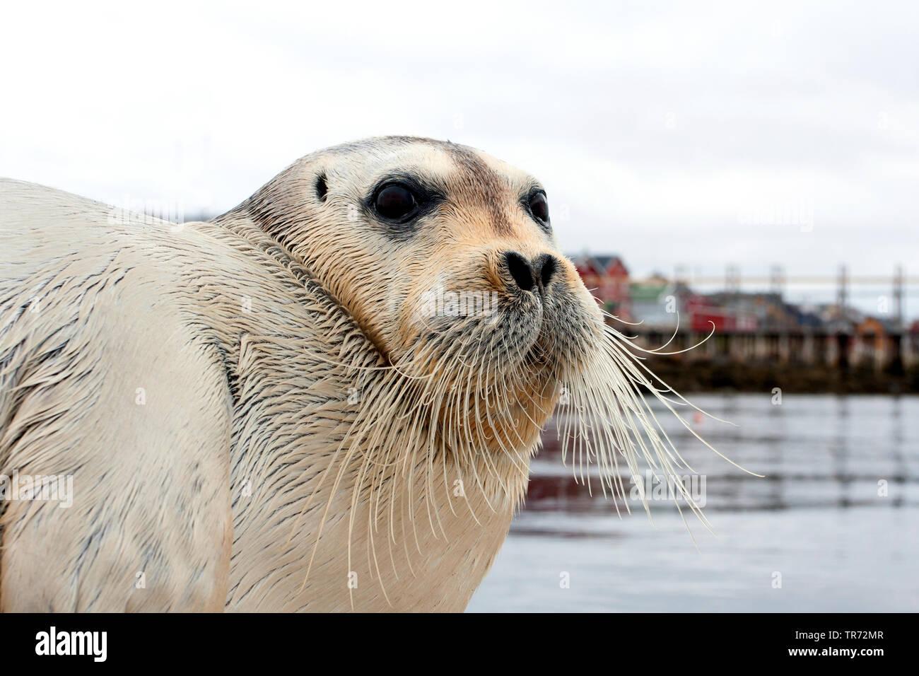 Bartrobbe, Bart-Robbe (Erignathus barbatus), liegt im Hafen, Portraet, Grossbritannien, Schottland   bearded seal (Erignathus barbatus), portrait, Uni - Stock Image