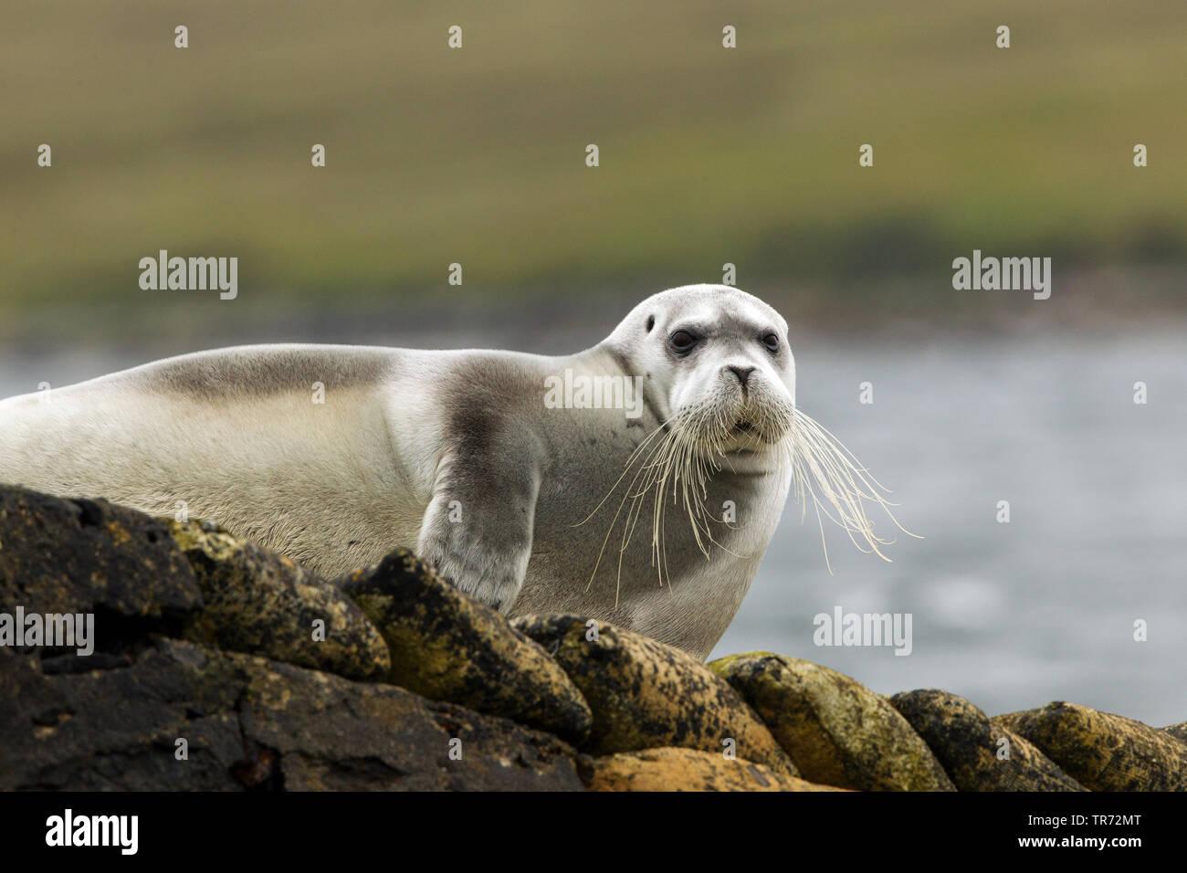 Bartrobbe, Bart-Robbe (Erignathus barbatus), liegt am Ufer, Grossbritannien, Schottland | bearded seal (Erignathus barbatus), lying on a shore, United - Stock Image