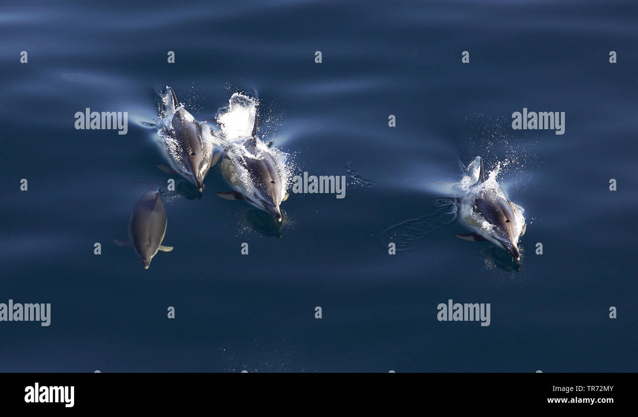 common dolphin, short-beaked Common Dolphin, saddleback(ed) dolphin, crisscross dolphin (Delphinus delphis), swimming group, Spain, Golf van Biskaje Stock Photo