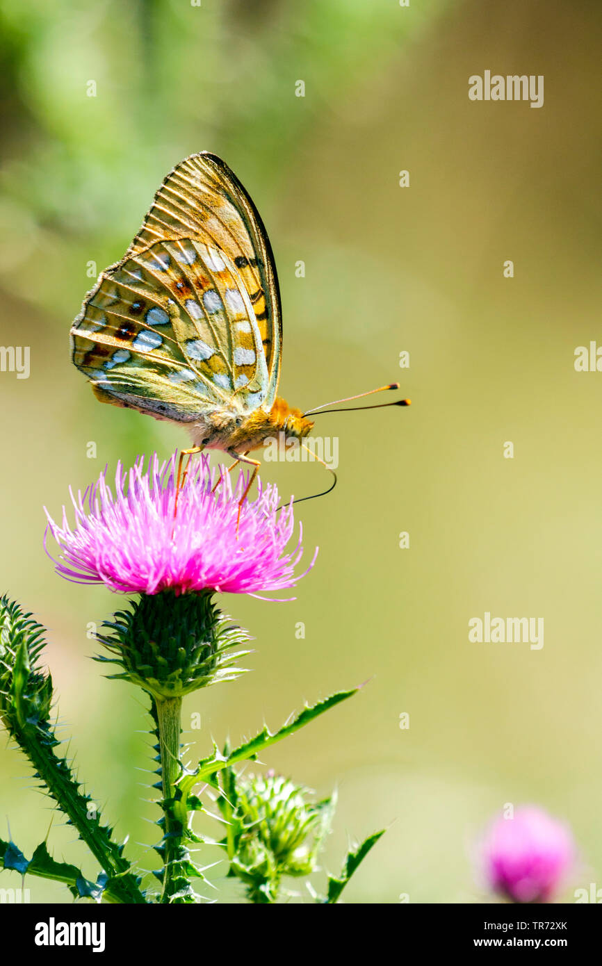 high brown fritillary (Argynnis adippe, Fabriciana adippe), on a thistle, Hungary - Stock Image