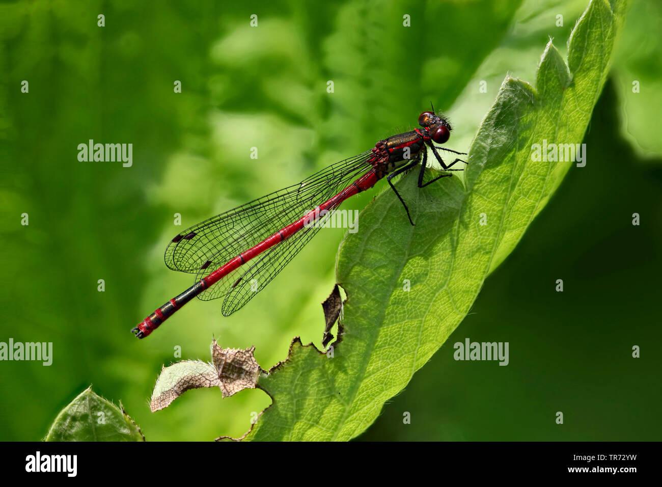 Fruehe Adonislibelle (Pyrrhosoma nymphula), sitzt auf einem Blatt, Deutschland | large red damselfly (Pyrrhosoma nymphula), sitting on a leaf, Germany - Stock Image