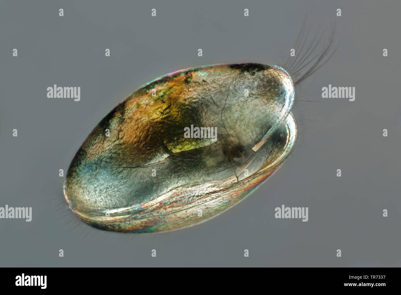 ostracods (shell-covered crustaceans), seed shrimps (Ostracoda), light microscopy, Germany - Stock Image