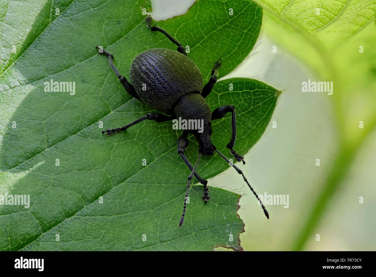 Ruesselkaefer (Curculionidae), sitzt auf einem Blatt, Deutschland | snout beetles, weevils (true weevils) (Curculionidae), sitting on a leaf, Germany - Stock Image