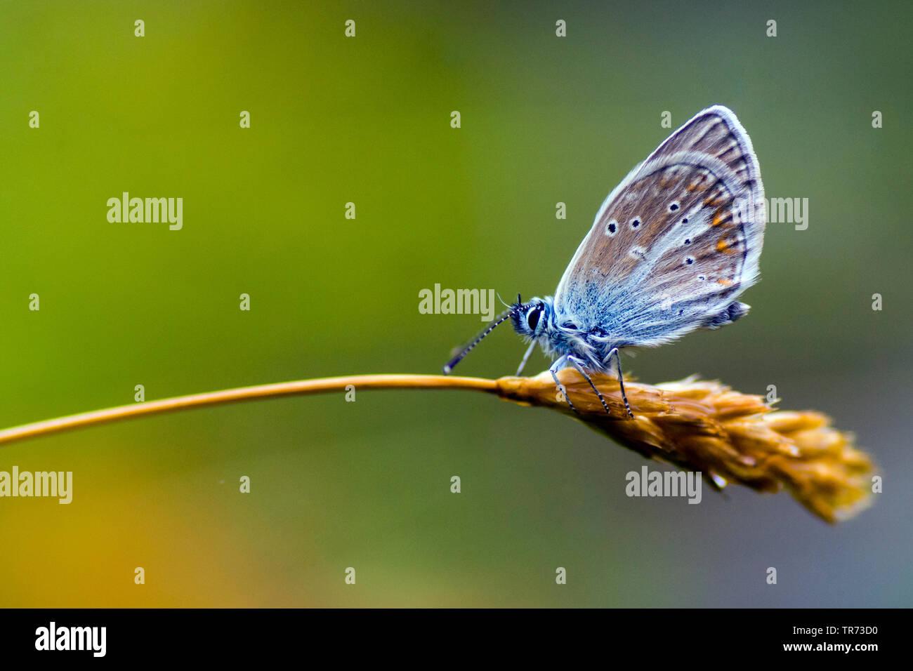 Schwarzbrauner Blaeuling, Storchschnabel-Blaeuling, Storchschnabelblaeuling (Aricia eumedon, Eumedonia eumedon, Plebejus eumedon, Plebeius eumedon, Ly - Stock Image