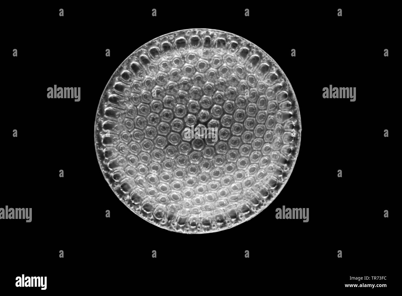 diatom (Diatomeae), fossile diatom in darkfield - Stock Image