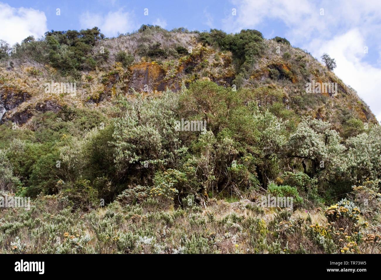 Polylepis, Polylepisbaum (Polylepis spec.), Polylepis-Baeume am Papallacta Pass, Ecuador   Polylepis (Polylepis spec.), Polylepis frest at Papallacta - Stock Image
