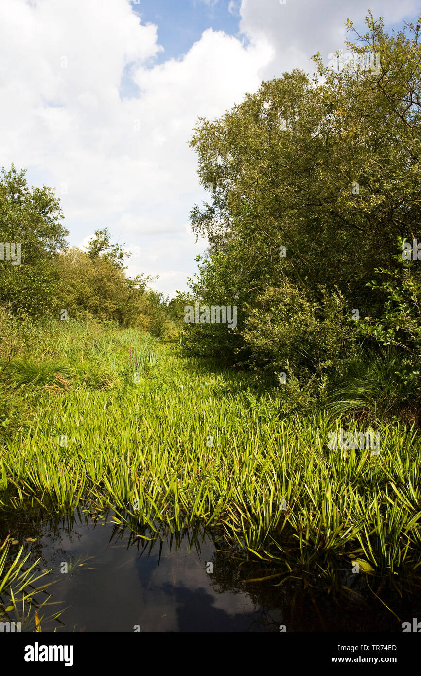 crab's-claw, water-soldier (Stratiotes aloides), chanel an boat, Netherlands, Weerribben-Wieden National Park Stock Photo