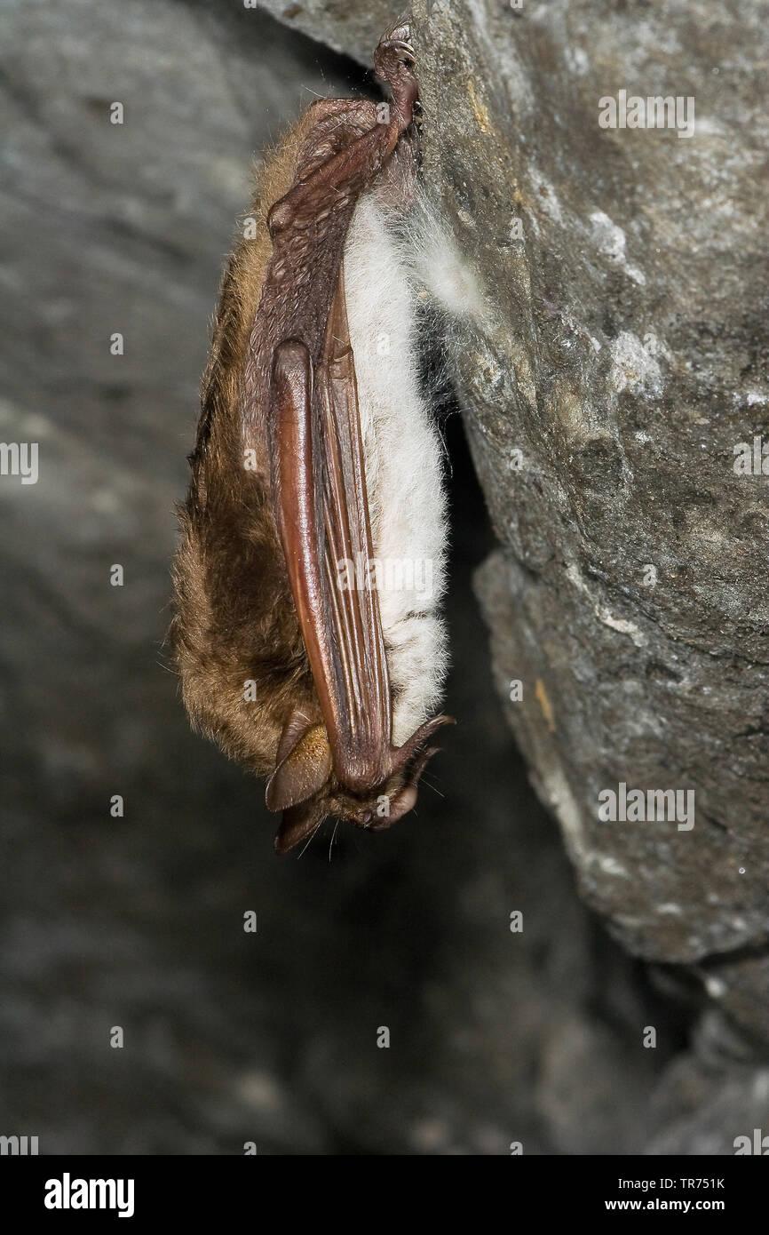 pond bat (Myotis dasycneme), hibernating in a cave, Germany - Stock Image