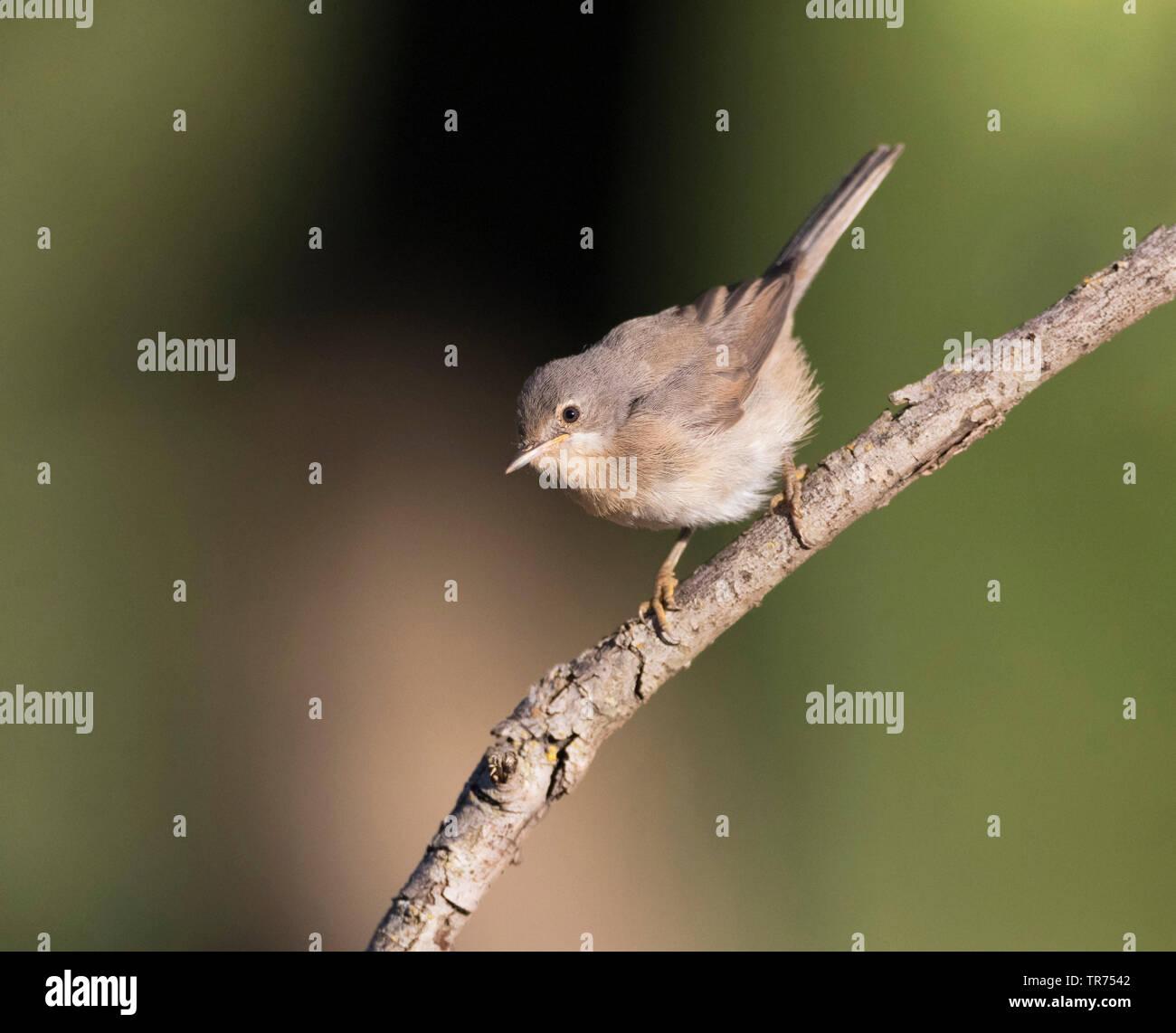 Westliche Bartgrasmuecke (Sylvia inornata), Spanien, Katalonien | Western Subalpine Warbler (Sylvia inornata), Spain, Katalonia, Solsona | BLWS498009. - Stock Image