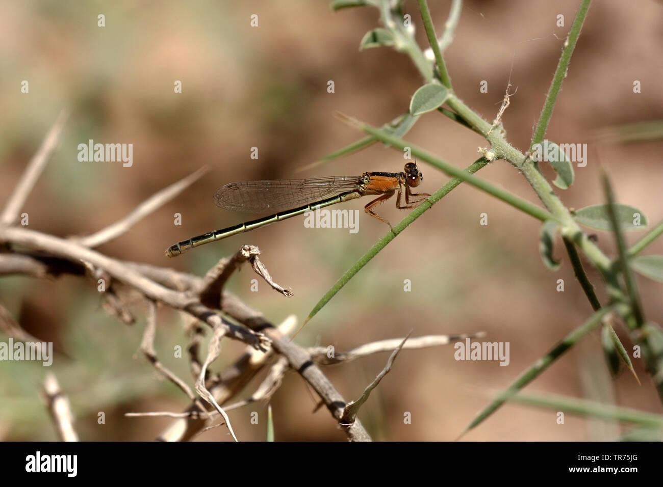 Oasen-Pechlibelle, Oasenpechlibelle (Ischnura fountaineae), junges Weibchen, Syrien, Mheimideh   Oasis Bluetai (Ischnura fountaineae), immature female - Stock Image