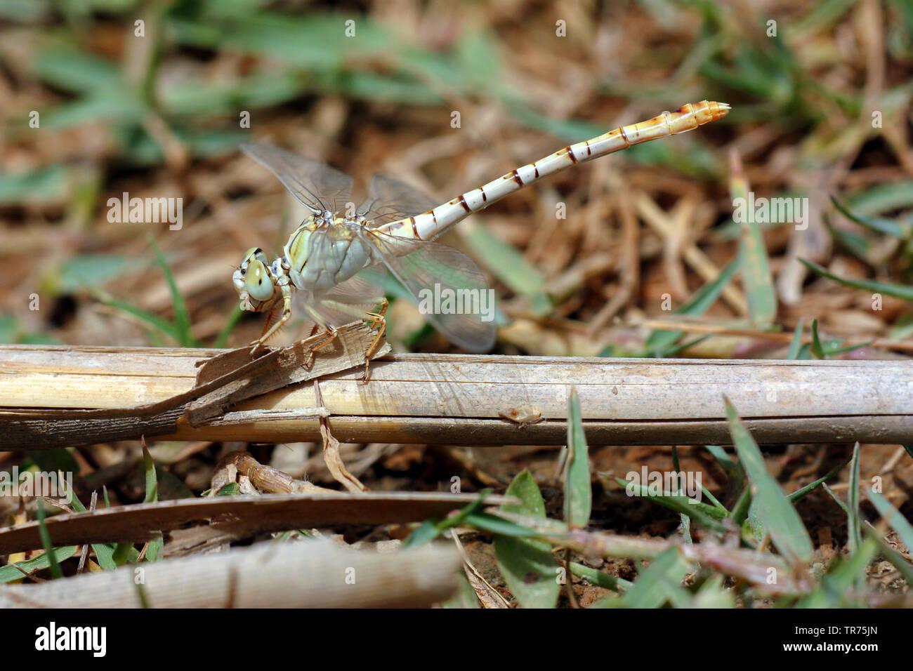 Zierliche Zangenlibelle (Onychogomphus flexuosus), Weibchen, Syrien   Waved pincertail (Onychogomphus flexuosus), female, Syria   BLWS498479.jpg [ (c) - Stock Image