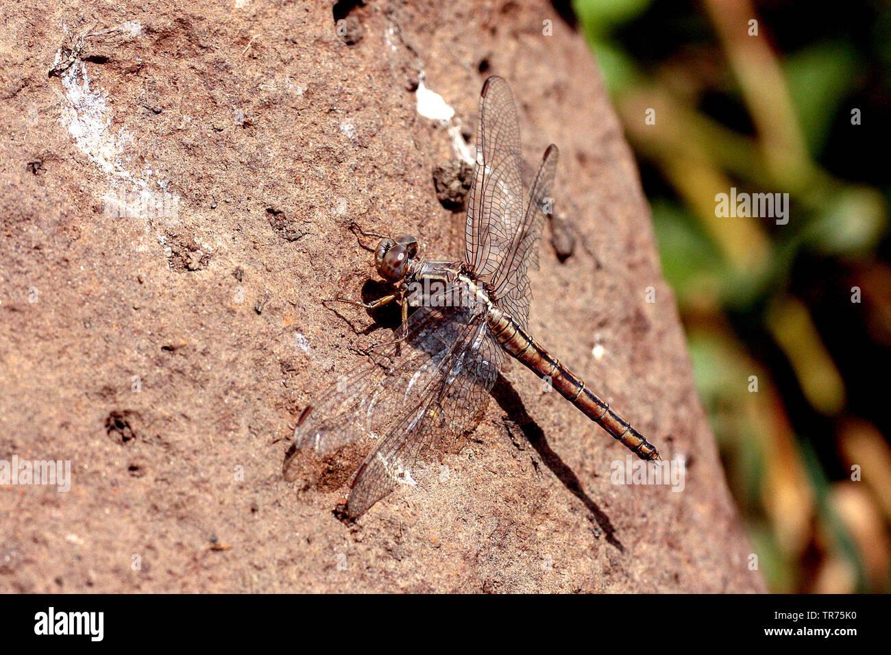Small Skimmer (Orthetrum taeniolatum), female, Syria, Homs - Stock Image
