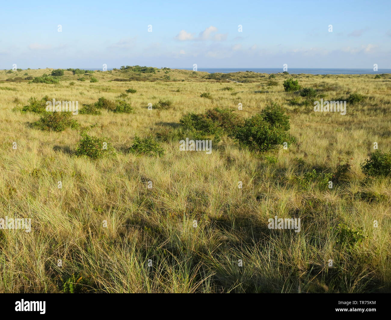 Duenen auf Vlieland, Niederlande, Friesland, Vlieland | dunes with scrubs, Netherlands, Frisia, Vlieland | BLWS498504.jpg [ (c) blickwinkel/AGAMI/M. G - Stock Image