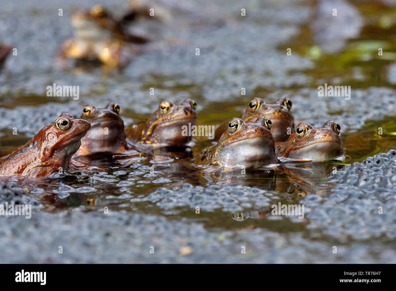 common frog, grass frog (Rana temporaria), group in water, Austria, Burgenland - Stock Image