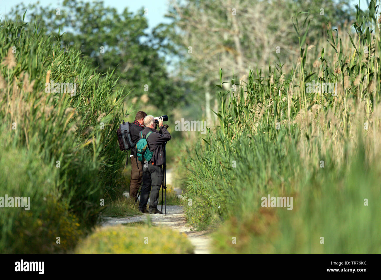Ornithologen bei der Vogelbeobchatung in einem Schilfroehricht, Spanien, Balearen, Mallorca, MR=Yes | Birdwatchers walking in nature reserve with reed - Stock Image